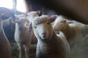 Live export exemption vital for Trading Partners and Farmers