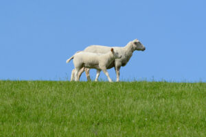 Government measures for Spring Shearing season inadequate